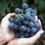 Vinogradnaja dieta